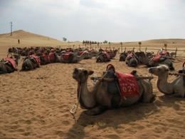 沙坡頭のラクダ